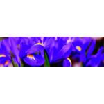 МДФ 2800х820х16 глянец Ирисы-верх (01 KF 011 V)